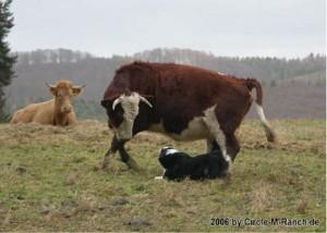 Selbst mit Baby im Bauch hilft uns Sissy noch mit vollem Elan bei der Arbeit.